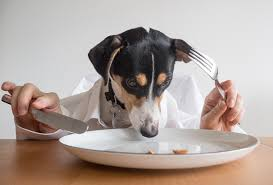 Terrier sitting at table eating food out of a plate, with human hands on either side holding a knife and fork