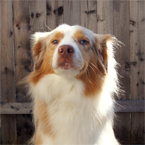 Garp, tan and white Aussie shepherd