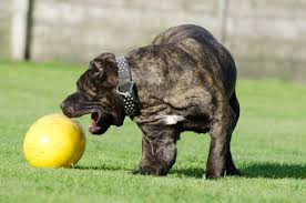 Bull dog playing with a large yellow ball
