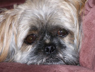 Sad face of a Shih Tzu