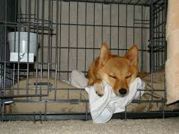 Shiba Inu sleeping in a dog crate with gate open