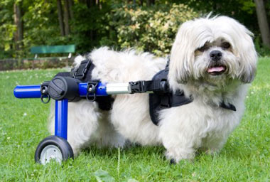 Handicap full adjustable wagon for small dogs by Walkin Wheels