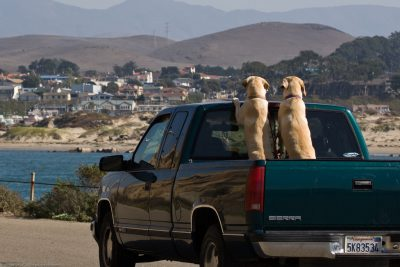 2 yellow labs riding in the bed of a pickup truck