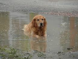 Golden Retriever swimming in a pond