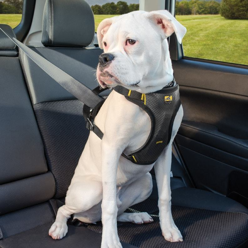 White American Bulldog wearing a Kurgo safety dog harness