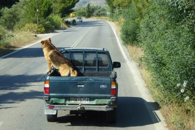 German Shepherd dog riding in the back of a small pickup truck