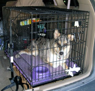 dog in a tethered kennel in car