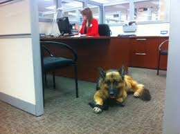 German Shepherd dog at the office