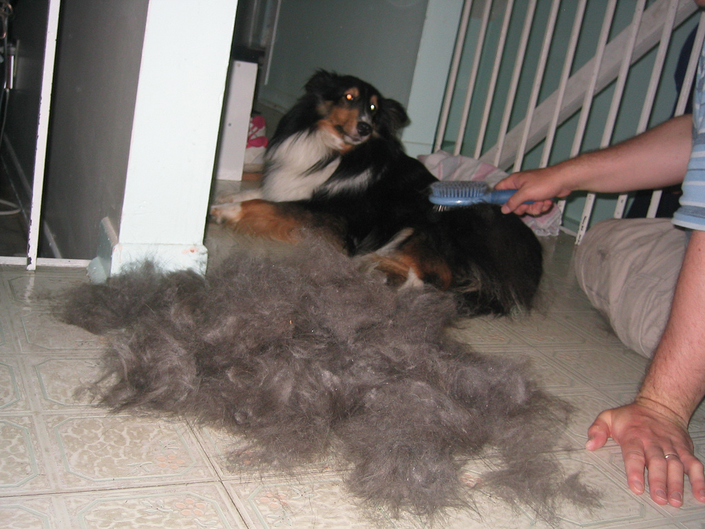 Black rough collie lying on floor being brushed out