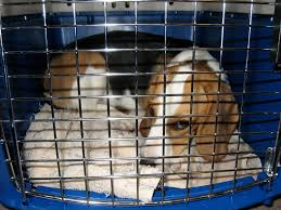 Beagle in wire crate