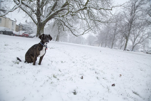 Boxer pooping on snowy lawn