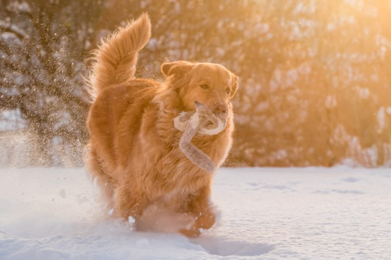 golden retriever running through the snow with a toy in her mouth