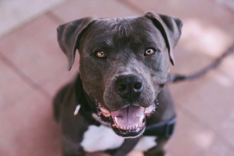 dark grey pit bull terrier sitting and looking up at camera