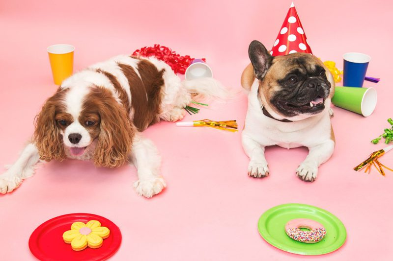 A spanial and a pug enjoying a birthday party
