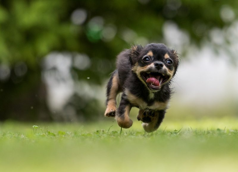 black and tan puppy running towards the photographer at top speed
