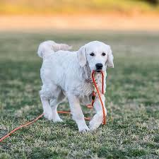 golden retriever holding part of a long red leash in his mouth