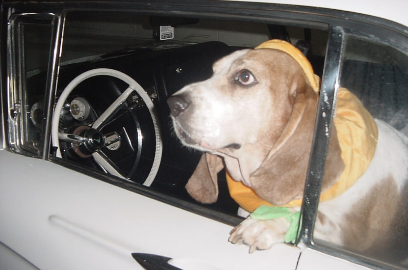 basset hound sitting the driver's seat of a 1950's car