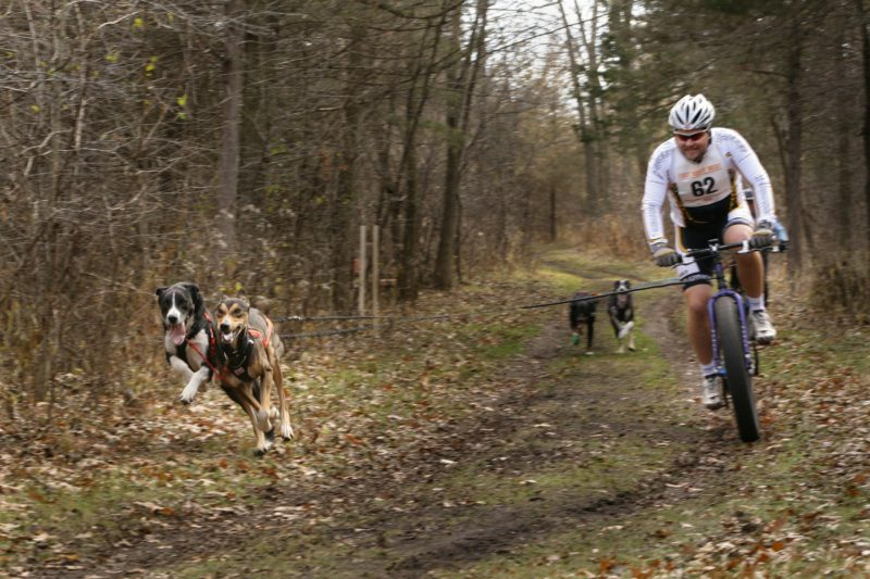 4 dogs racing with a Bike Joring competitor