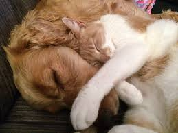 Golden Retriever and cat sleeping together