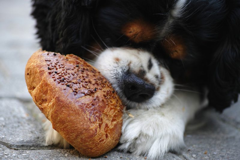 close up of a dog chewing on a bagel