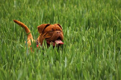 tan Bordeaux dog in tall green grass