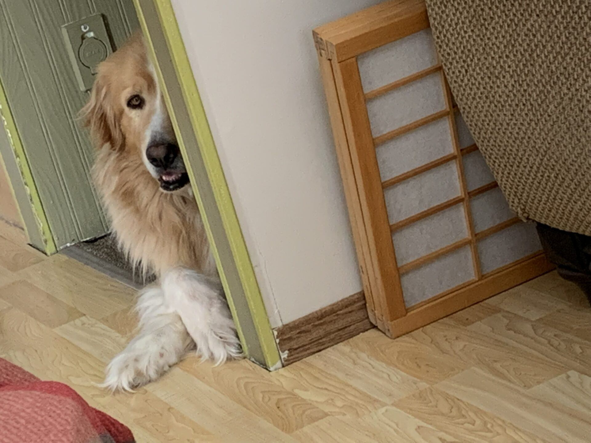 Golden/Pyrenees dog peeking around a corner