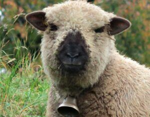 black nosed sheep wearing a sheep bell